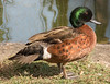 • Location - Arnold's Butterfly Haven<br /> • Chestnut teal
