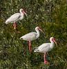 • Location - Merritt Island National Wildlife Refuge<br /> • Trio of Ibises
