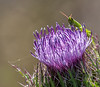 • Location - Moccasin Island Tract<br /> • Cone-Headed Grasshopper peeking over the Horrible Thistle