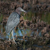 • Location - Viera Wetlands<br /> • Little Blue Heron looking for something to eat