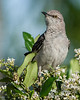 • Location - Boynton Beach Marriott Courtyard<br /> • The Northern Mockingbird is on the lookout for something to eat