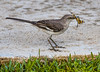 • Location - Boynton Beach Marriott Courtyard<br /> • I guess the Northern Mockingbird captured the Halloween Pennant Dragonfly for its breakfast