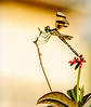 • Location - Boynton Beach Marriott Courtyard<br /> • Halloween Pennant Dragonfly