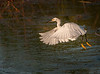 • Location - Viera Wetlands<br /> • Snowy Egret just taking off