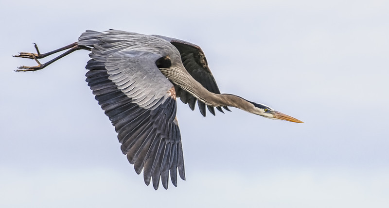 • Location - Viera Wetlands<br /> • A Great Blue Heron looking for more nesting material