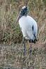• Location - Viera Wetlands<br /> • Wood Stork