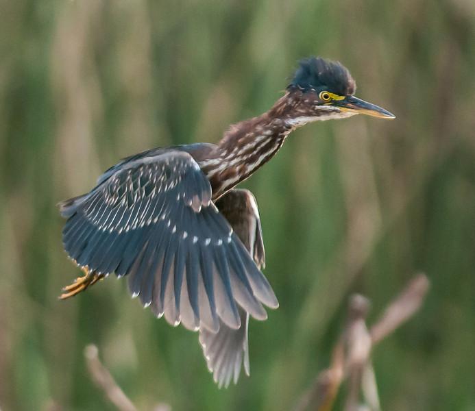 • Location - Viera Wetlands<br /> • Green Heron in flight