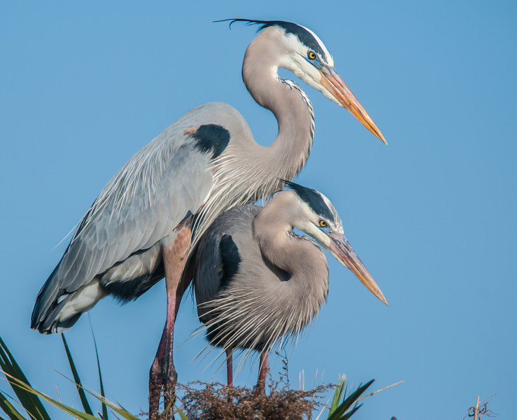 • Location - Viera Wetlands<br /> • A pair of Great Blue Herons building their nest