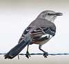 • Location - Moccasin Island Track<br /> • Northern Mockingbird