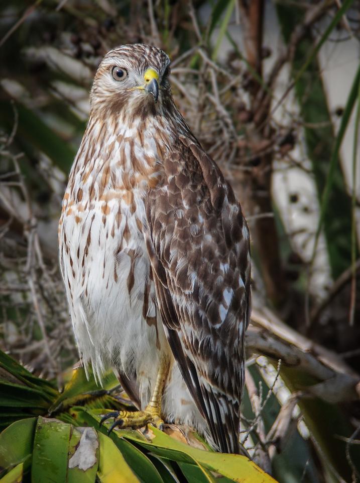 • Location - Viera Wetlands<br /> • Red-shouldered Hawk
