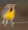 • Location - Moccasin Island Track<br /> • Eastern Meadowlark