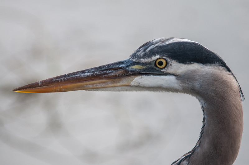 • Location - Viera Wetlands<br /> • Close-up of a Great Blue Heron
