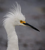 • Location - Viera Wetlands<br /> • Close-up of a Snowy Egret
