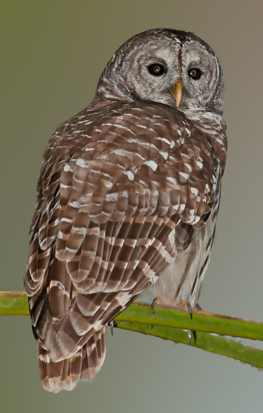 • Location - Road to Moccasin Island Track<br /> • Barred Owl<br /> • I want to thank Tom Brewer to enable me to take this photo