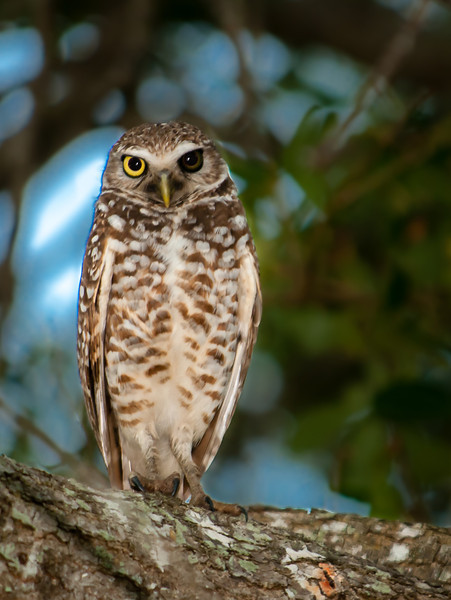 • Location - Brian Piccolo Park<br /> • Burrowing Owls