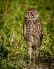 • Location - Brian Piccolo Park<br /> • Burrowing Owls