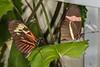 Heliconius Melpomene Madiera Butterfly Pairing
