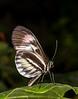Piano keys Butterfly
