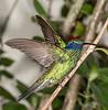 Sparking Violet Ear Hummingbird