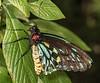 Male Caims Birdwing Butterfly