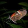 Rosina Butterfly
