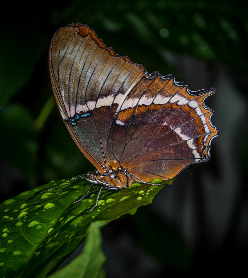 Rusty-Tipped Butterfly