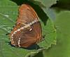 Siproeta Epaphus Butterfly