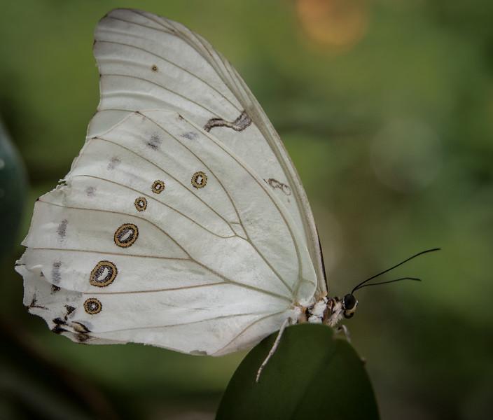 Morpho Polyphemus Butterfly
