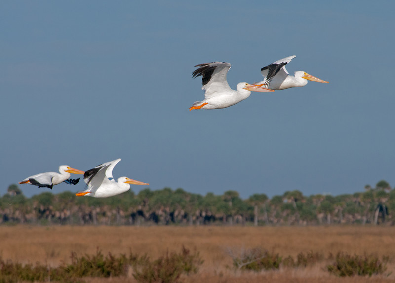 • Photos from the Birding and Wildlife Festival<br /> • Location - Peacock Pocket Rd<br /> • American White Pelican