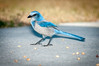 • Location - Playalinda Beach Entrance<br /> • Scrub Jay