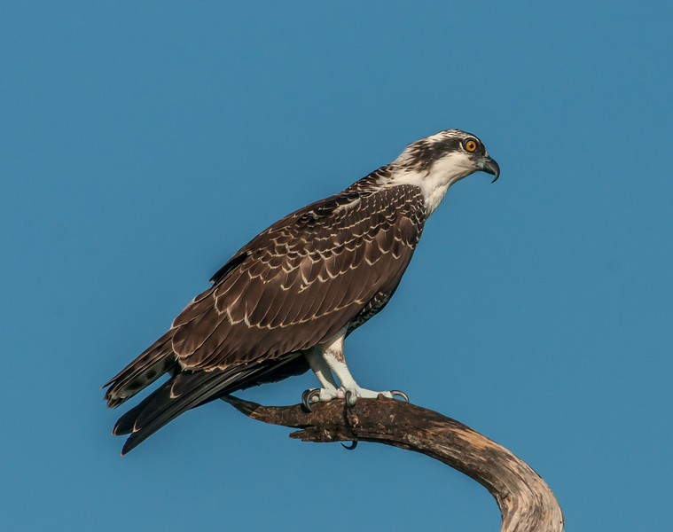 Osprey posing for me
