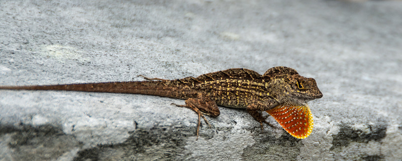 Brown Anole Lizard with its extended pouch