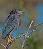 Green Heron that was upset because I was taking its picture
