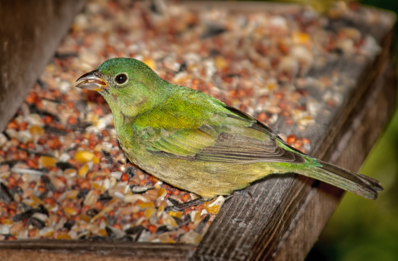 • Photos from the Birding and Wildlife Festival<br /> • Location - Vistor's center<br /> • Painted Bunting