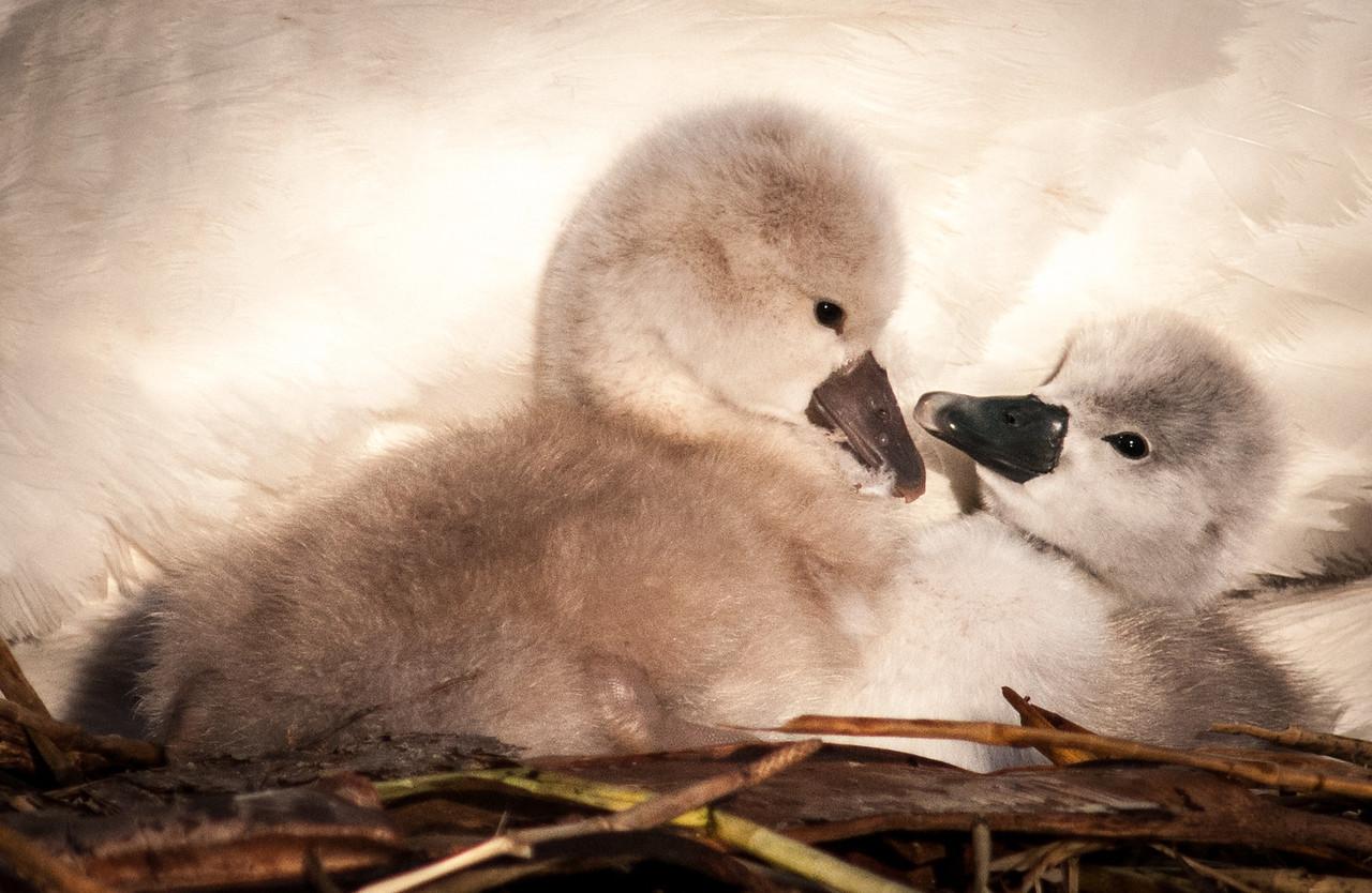 • Mute Swan<br /> • Hello! (eewww go away what do you want sibling?)