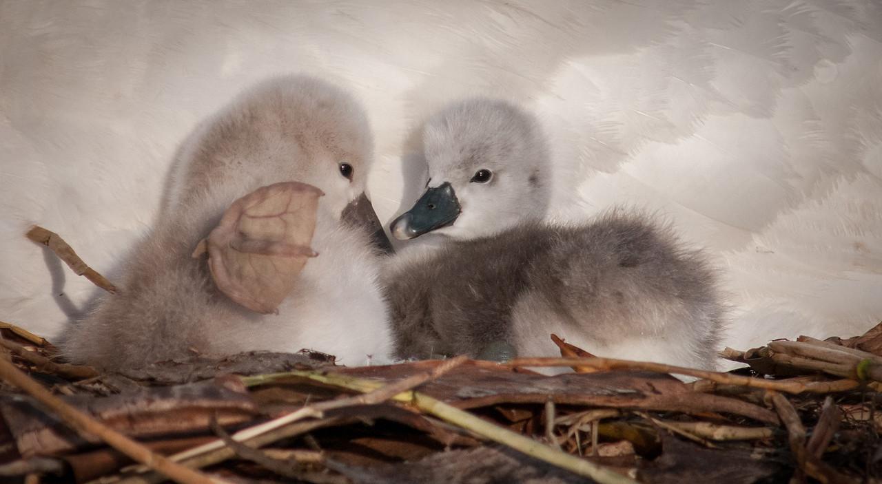 • Mute Swan<br /> • Beak to beak, whaddya say?