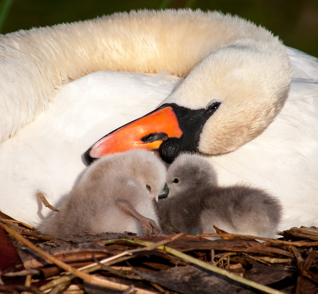 • Mute Swan<br /> • Are you two getting along alright, kids?