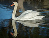 • Mute Swan<br /> • Oh dear, I hope my babies aren't causing trouble!