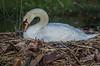 • Mute Swan<br /> • Rawrrr