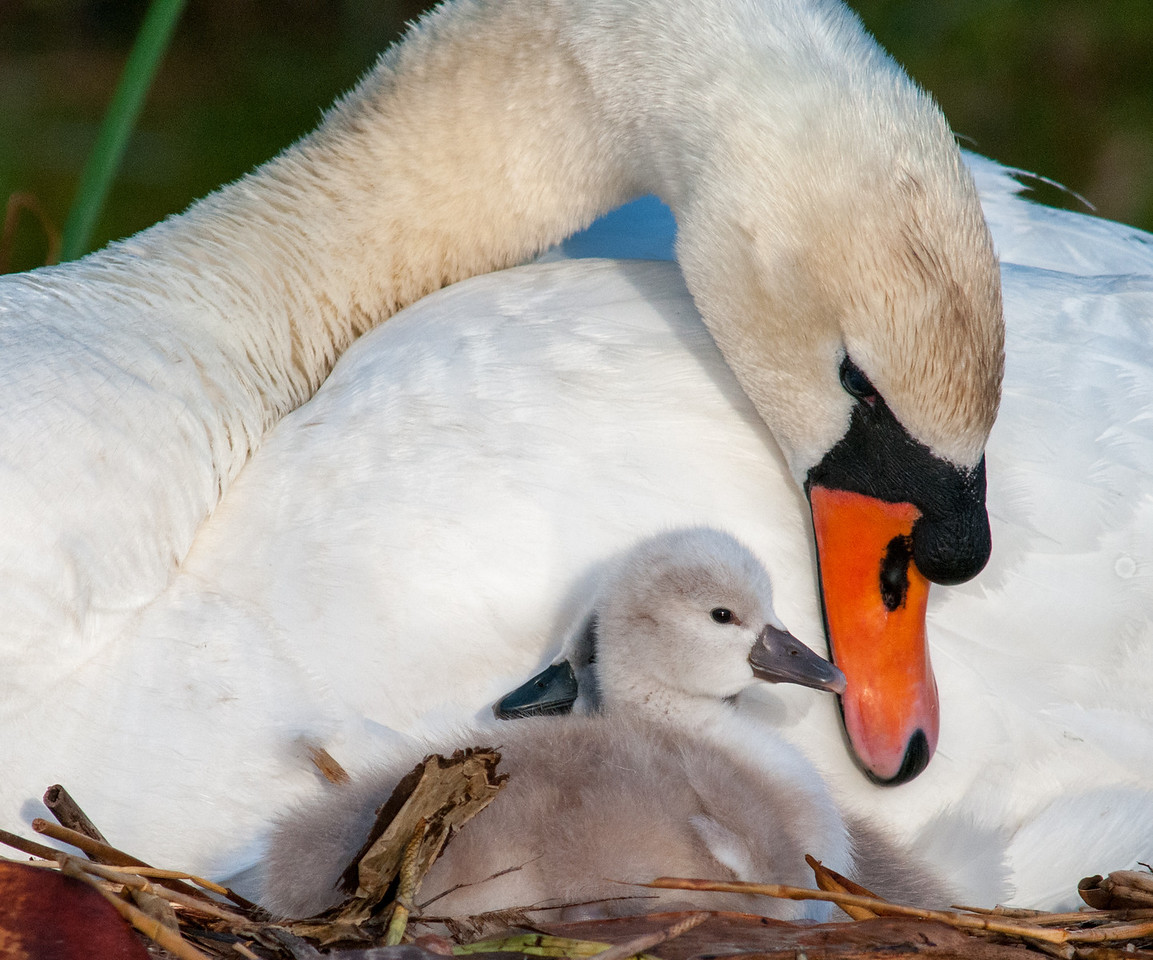 • Mute Swan<br /> • Hello sweetie pie, can I get you anything?