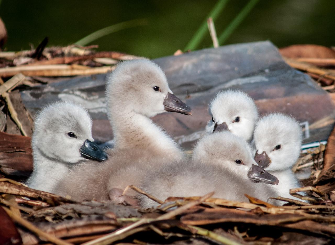 • Mute Swan<br /> • LETS GET EM!