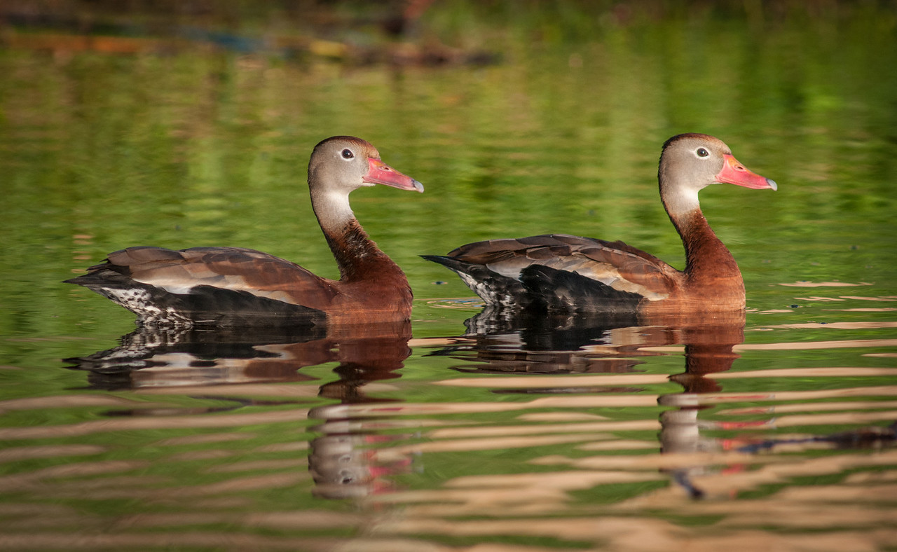 • Red-bellied Whistling Duck two smooth ones here!