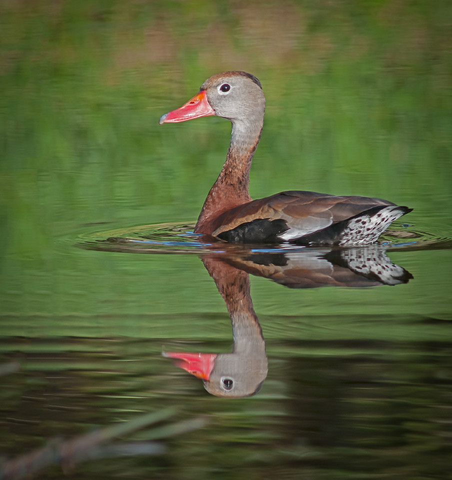 • Red-bellied Whistling Duck    I'm smooooooth.