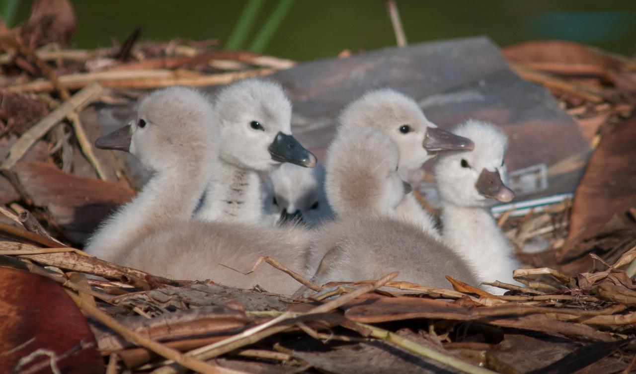 • Mute Swan<br /> • Huddling is fun!