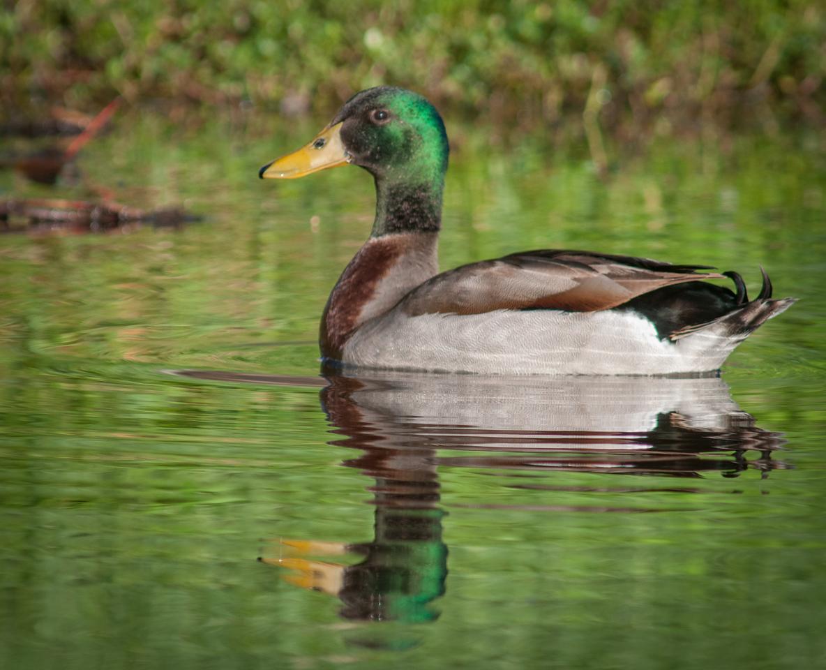 • Mallard Duck<br /> • Hey, just groovin'!