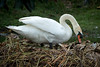 One of the Mute Swans straightening out the nesting area
