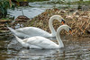 The proud Mute Swan parents swimming around their nest.
