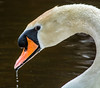 Close-up of the Mute Swan with water droplets coming off its beak.