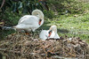 I guess both Mute Swans are checking out the eggs