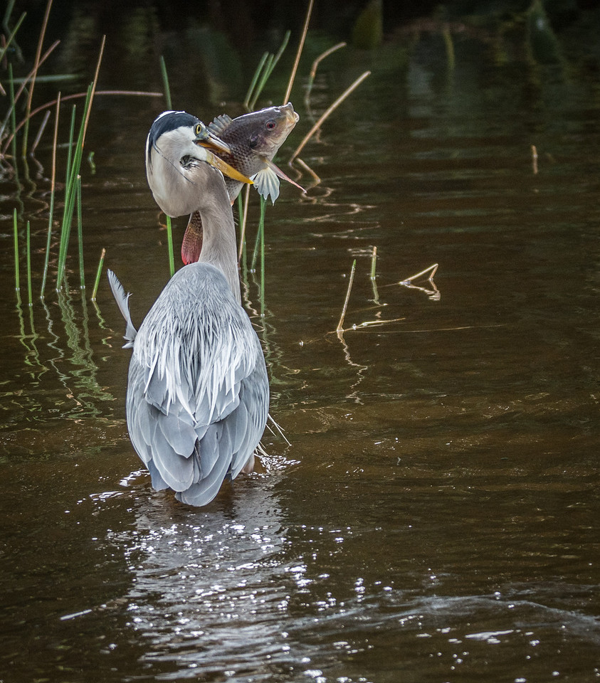 Great Blue Heron with its catch